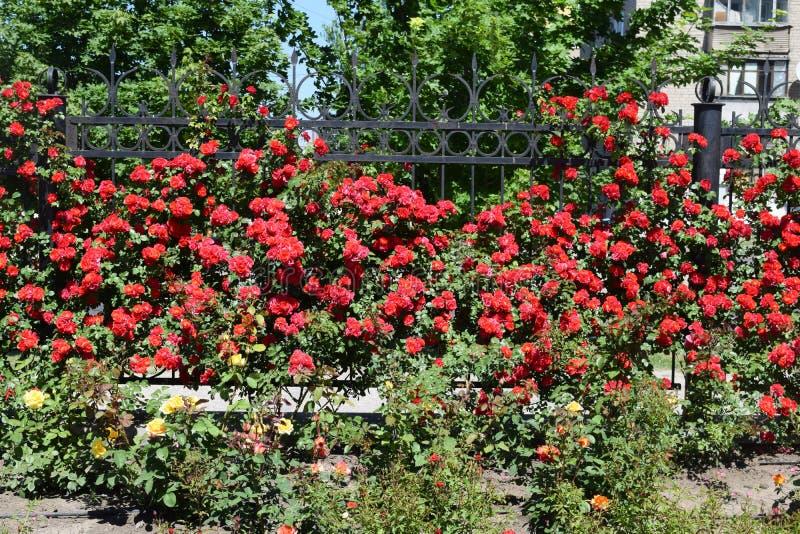Download Bush delle rose fotografia stock. Immagine di verde - 117980316