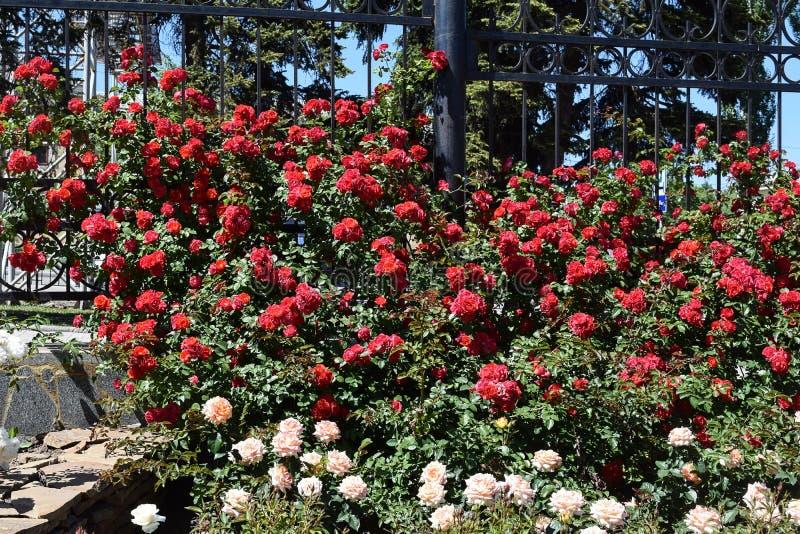 Download Bush delle rose fotografia stock. Immagine di fresco - 117980318