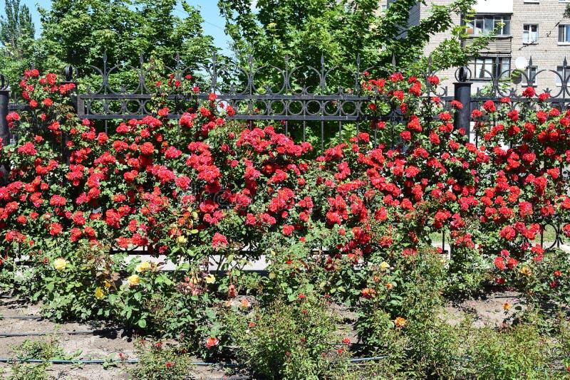 Download Bush delle rose immagine stock. Immagine di flora, bello - 117980319