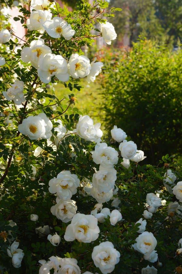 Bush den vita rosen i solljuset i sommaren royaltyfri fotografi