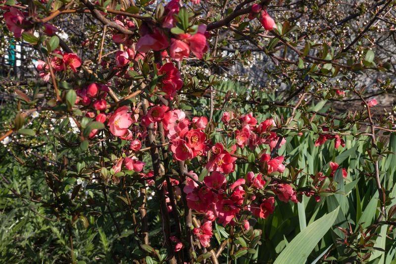 The bush is densely dotted with red flowers growing in dense green.  royalty free stock photo