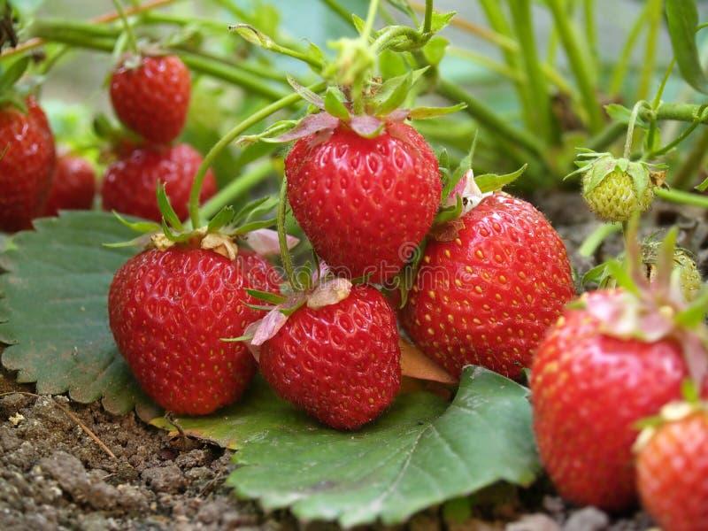 Bush der Erdbeere lizenzfreie stockfotos