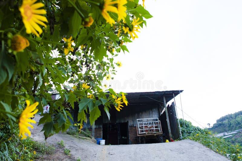 Bush der wilden Sonnenblumenblüte in der gelben, bunten Szene in DA-Lat, Vietnam lizenzfreie stockbilder