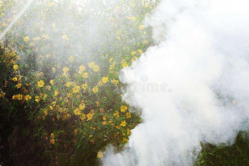 Bush der wilden Sonnenblumenblüte in der gelben, bunten Szene im Rauche an DA-Lat, Vietnam lizenzfreies stockfoto