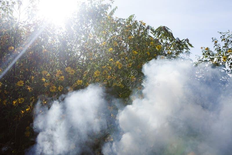 Bush der wilden Sonnenblumenblüte in der gelben, bunten Szene im Rauche an DA-Lat, Vietnam lizenzfreie stockfotos