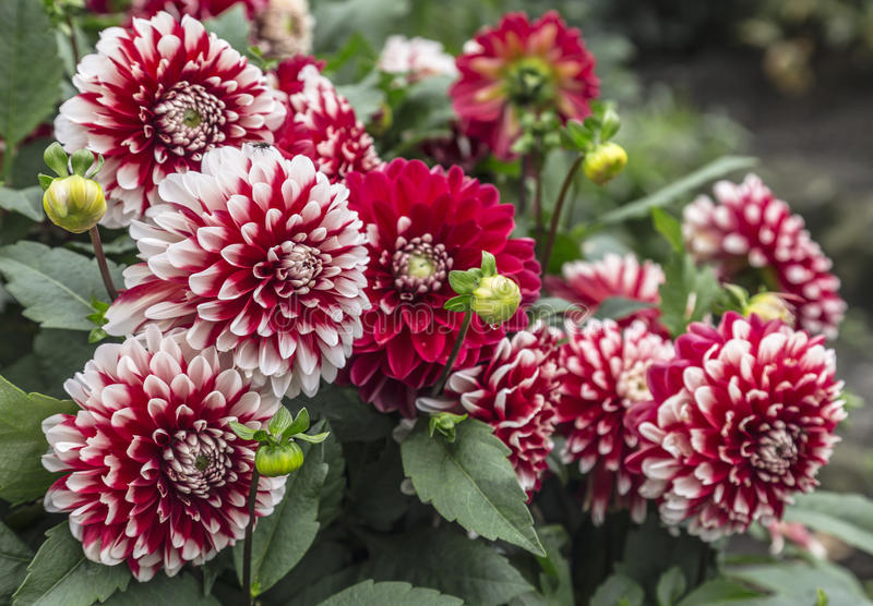 Bush des dahlias rouges et blancs photographie stock libre de droits