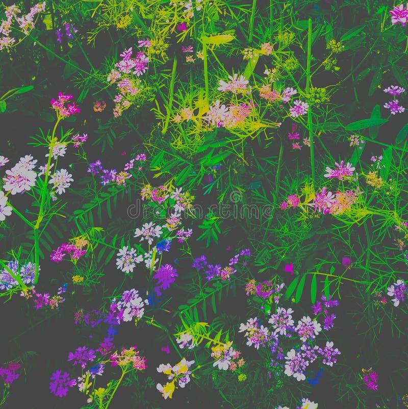 Bush des fleurs pourpres roses a cliqué sur dans un domaine image libre de droits