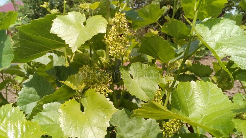 Bush des raisins verts image stock