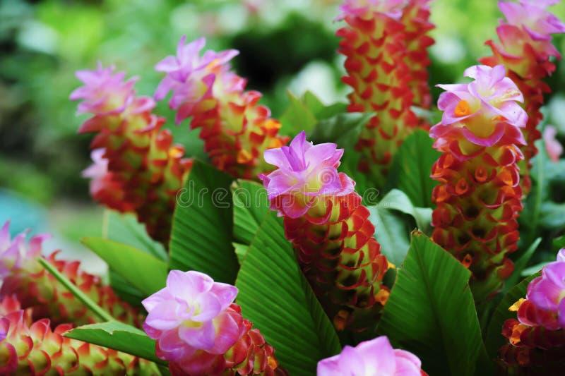 Bush des sessilis Blumenstraußes oder Siam Tulip Bloom in der Regenzeit in Thailand lizenzfreie stockfotografie