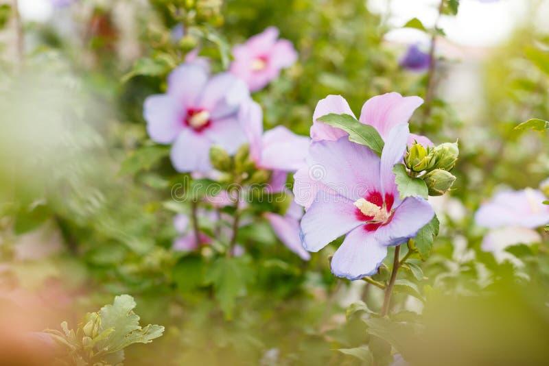 Bush di bei fiori rosa Priorità bassa della natura fotografia stock