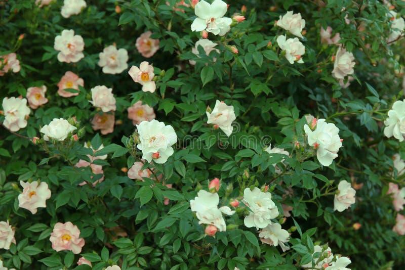 Bush di belle rose rosa per fondo immagine stock
