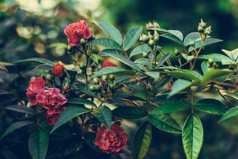 Bush di piccole rose rosse Cartolina d'auguri d'annata floreale Fresco ? aumentato Modello naturale, fondo Fiore del giardino Ros fotografia stock libera da diritti