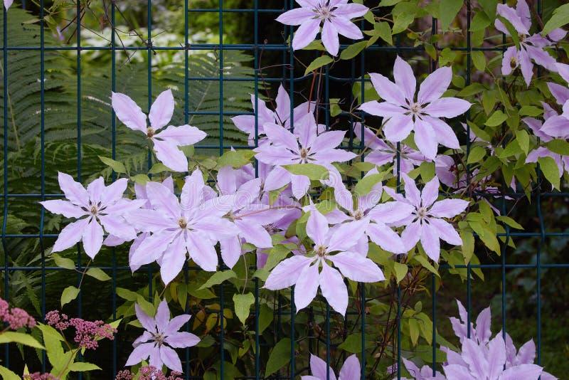 Bush do close-up lilás da flor da clematite Videira da clematite imagens de stock royalty free