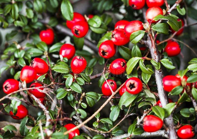 Bush do cotoneaster com bagas vermelhas imagem de stock royalty free