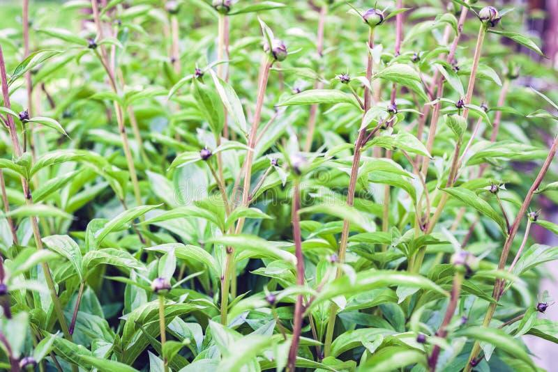 Bush do Paeonia vermelho do pion das flores antes da flor com fundo verde da textura das folhas, plantas em um jardim foto de stock royalty free