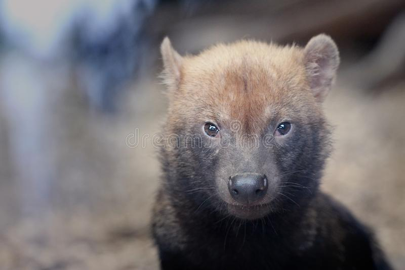 Bush dog in the forest stock photos
