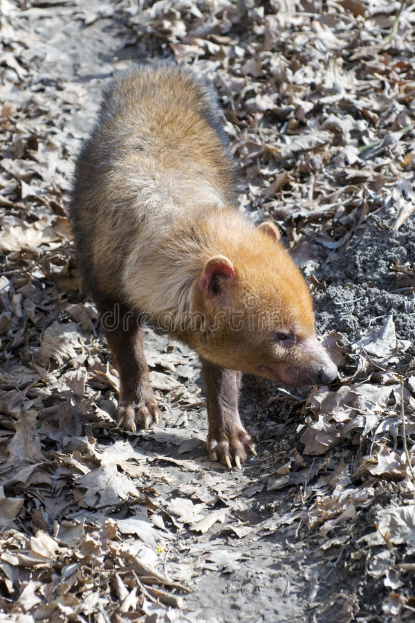 Bush dog (Speothos venaticus) stock photos