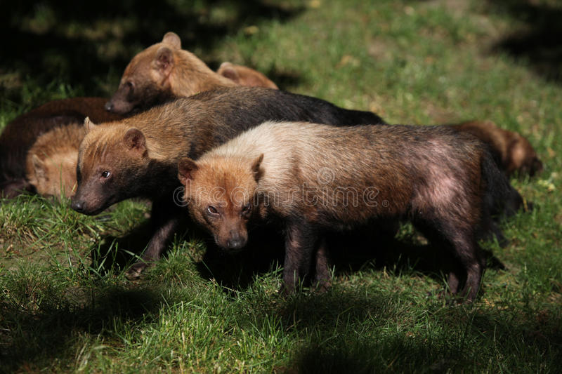 Bush dog (Speothos venaticus) royalty free stock image