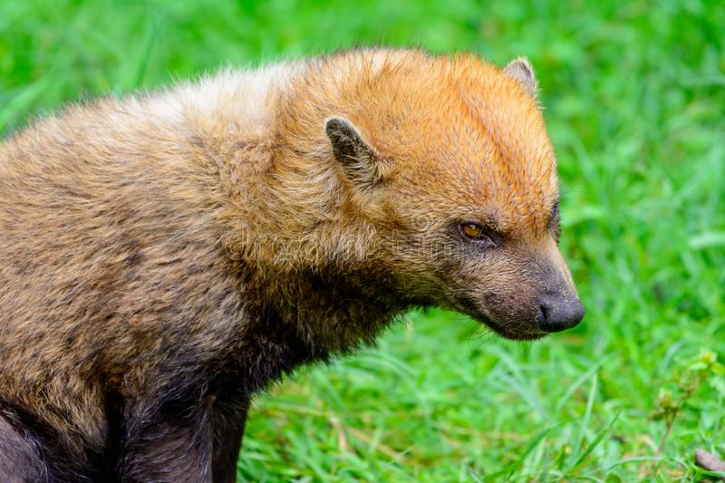 Bush dog Speothos venaticus royalty free stock photo