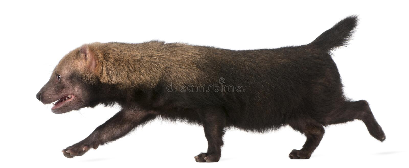 Bush Dog, Speothos venaticus stock photos