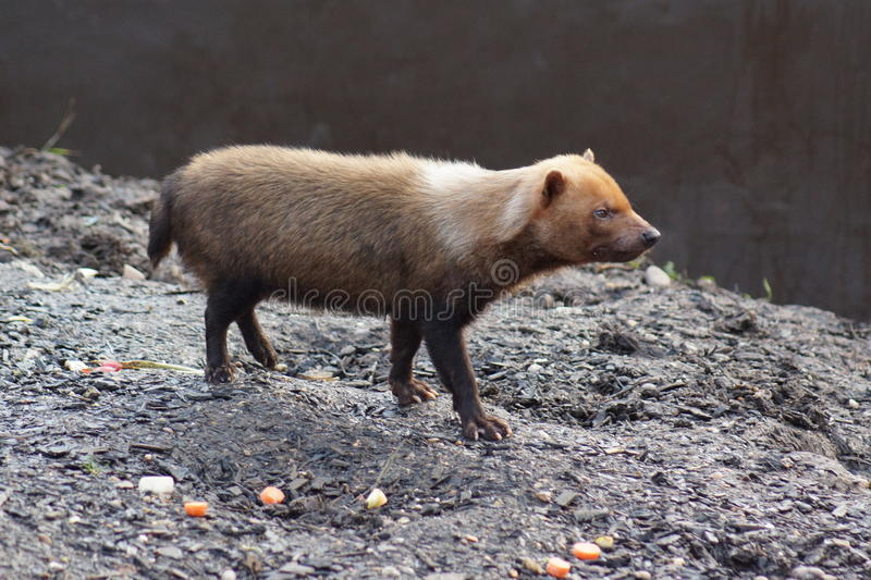 Bush Dog - Speothos venaticus royalty free stock images