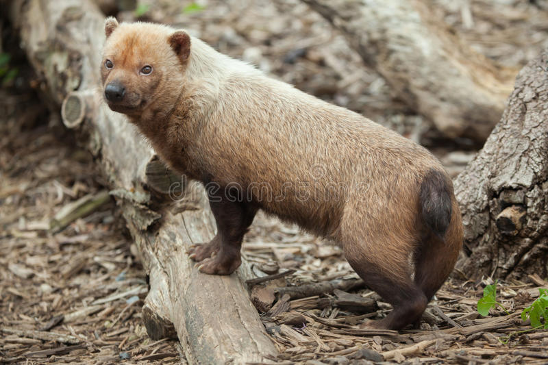 Bush dog Speothos venaticus. stock image
