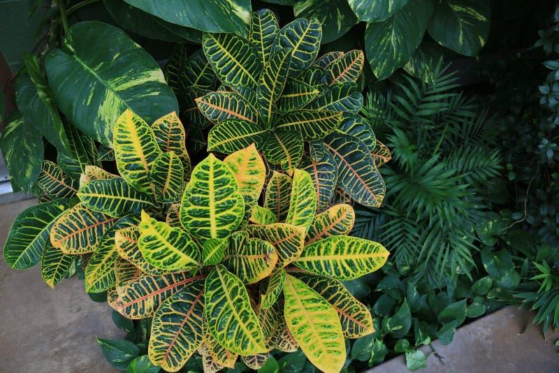 Bush dos Crotons, do Pothos e da palma decorativa fotos de stock