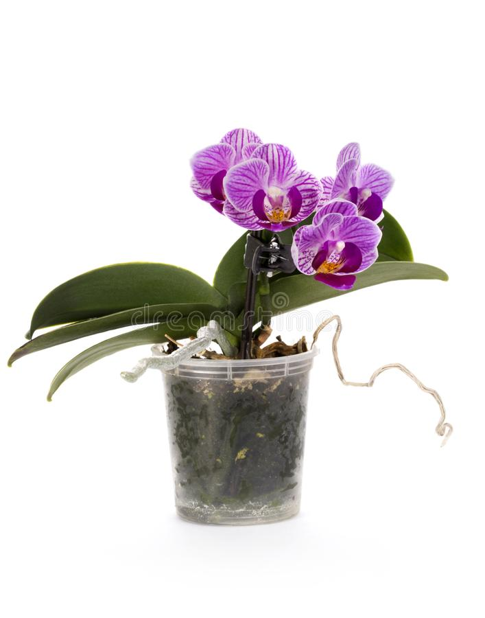 Bush of dwarf phalaenopsis orchid in a pot royalty free stock photo