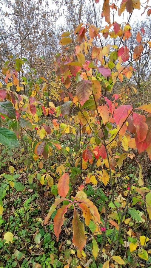 Bush in early autumn stock photos