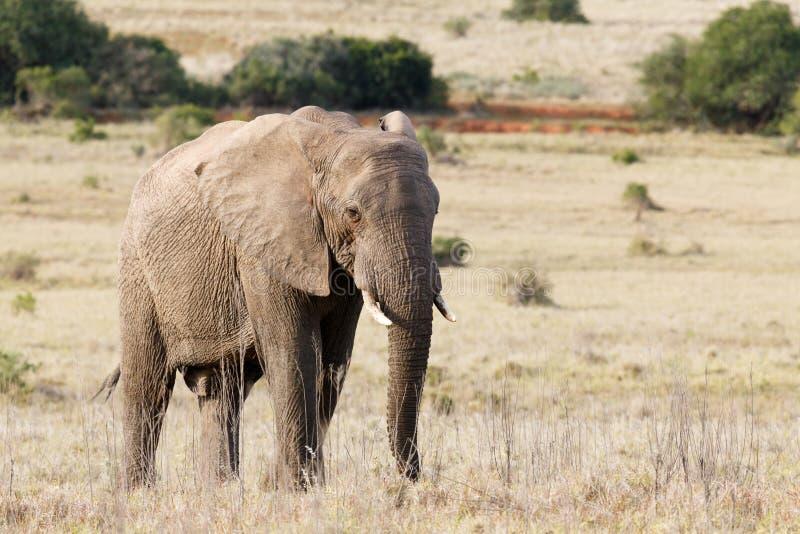 Bush elefant som fridfullt står i det långa gräset arkivbilder