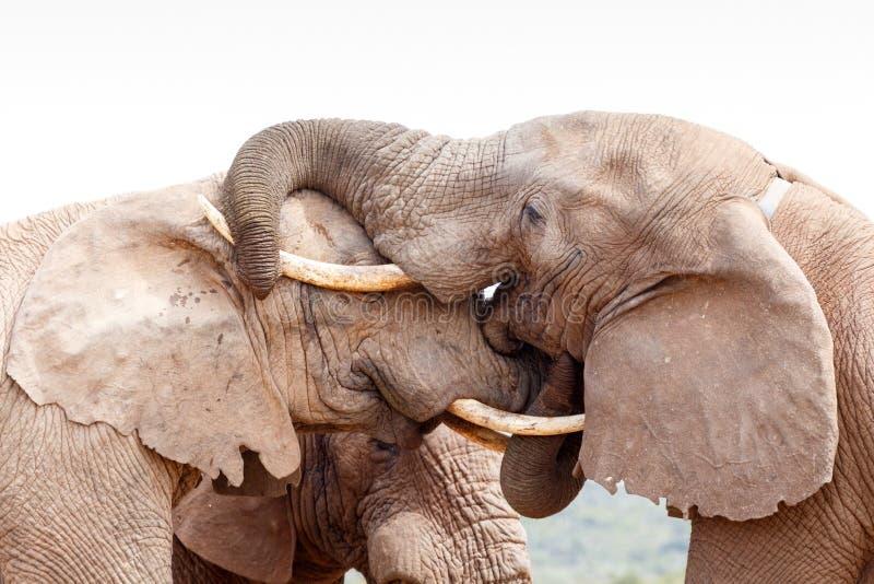 Bush elefant som ger en kyss på huvudet fotografering för bildbyråer