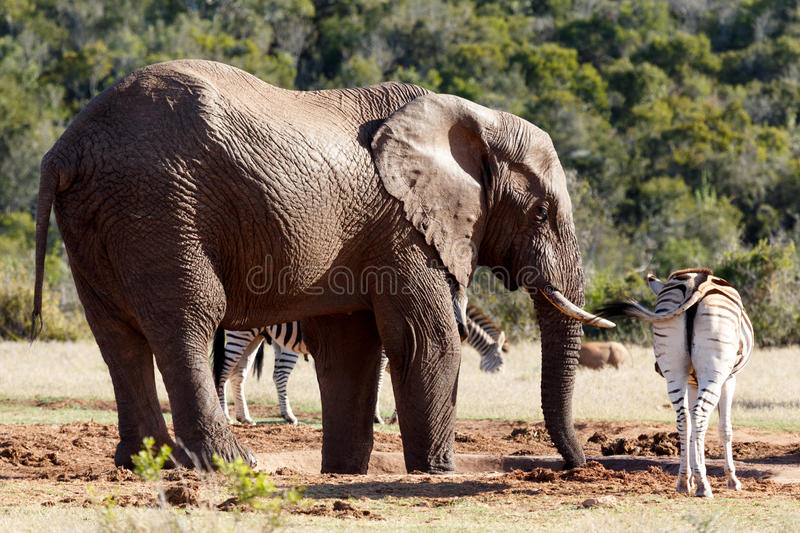 Bush Elephant drinking water while the Zebra standing close by royalty free stock photos