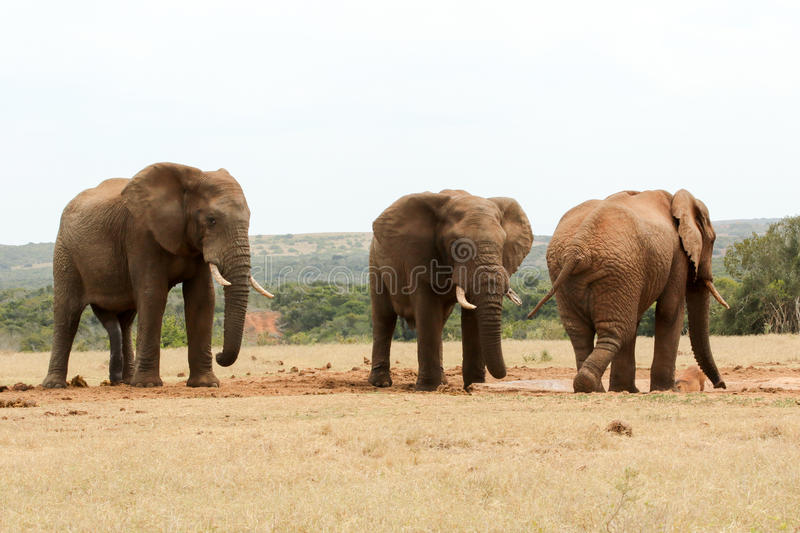 Bush Elephant showing who`s the boss. At the watering hole royalty free stock photo
