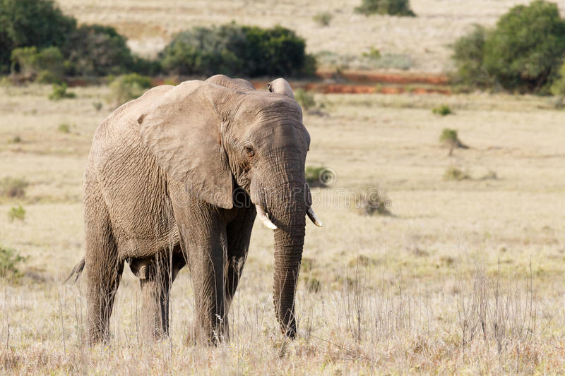 Bush Elephant standing peacefully in the long grass stock images