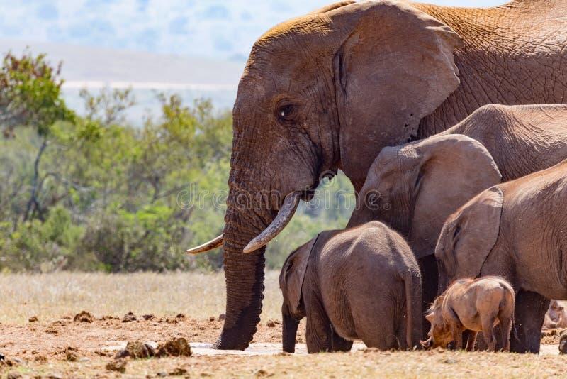 Bush Elephants gathering at the dam royalty free stock image