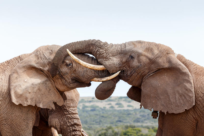 Bush Elephants showing some love and affection stock image