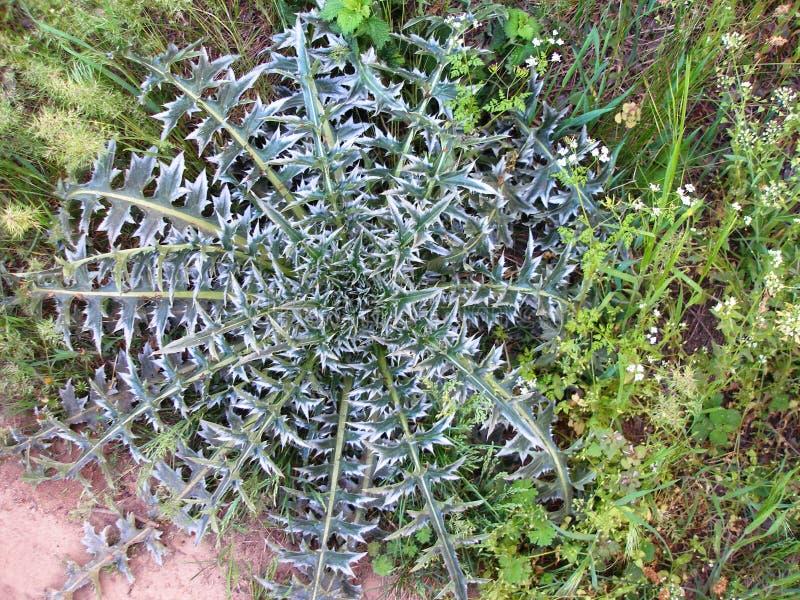 Bush fältväxt med spetsiga gröna sidor royaltyfria bilder
