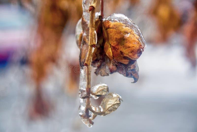 Bush fattar med bladet som täckas i klar is efter frysa regn arkivfoton