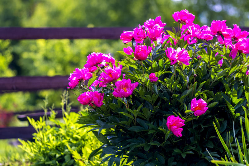 Bush, flores en el jardín imagen de archivo libre de regalías