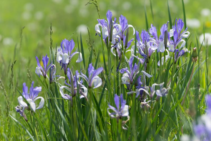 Bush flowering Blue Siberian Iris Latin Iris sibirica grows in a green meadow stock images