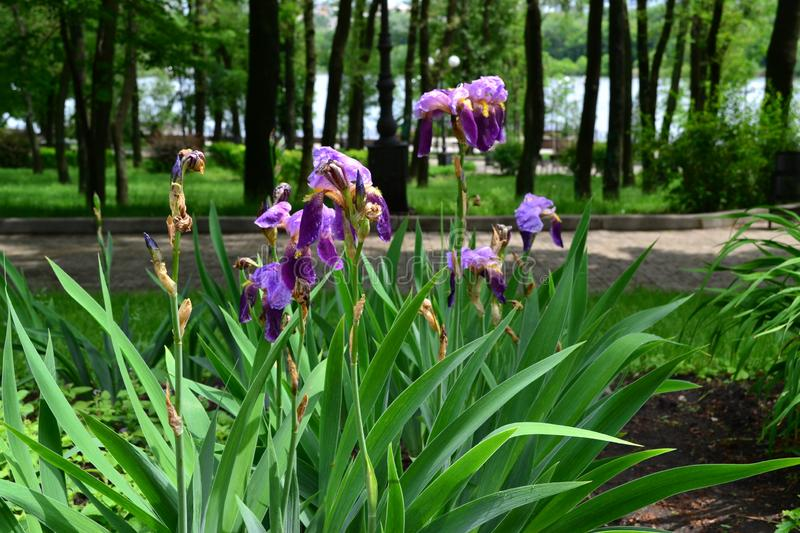Bush of flowers irises purple in the park royalty free stock images