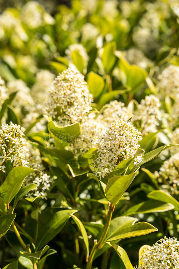 Bush flowers with small white flowers standing in the spring. stock image