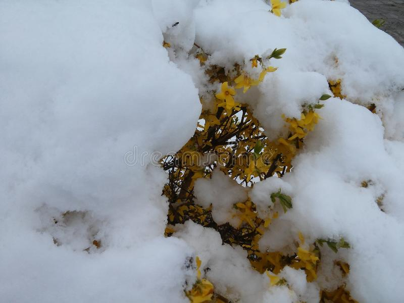 Bush of forsythia in the middle of snow in spring in may royalty free stock photo