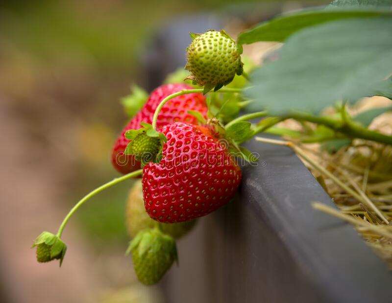 Bush of fresh red strawberry on straw, hay in summer garden stock photography