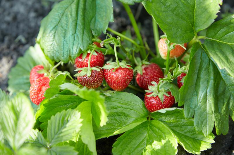 Bush of fresh ripe and unripe strawberry in the garden royalty free stock photography