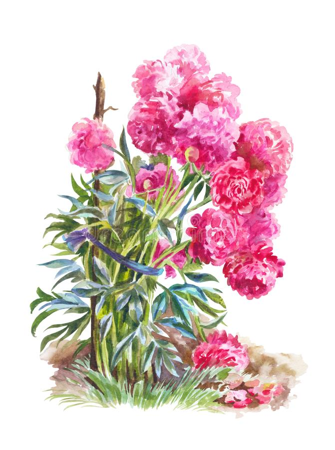 Bush of garden peonies isolated. Watercolor painting. Watercolor illustration with  pink peonies. Bush of flowers in garden stock illustration