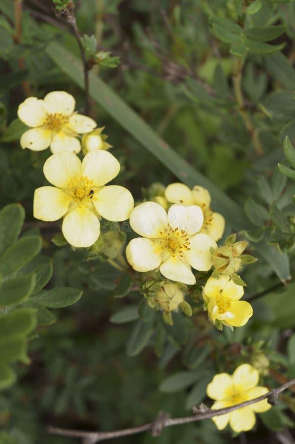 Bush-Gelb Cinquefoil stockbild