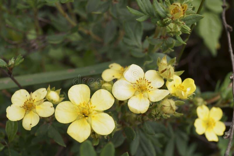 Bush-Gelb Cinquefoil stockfoto