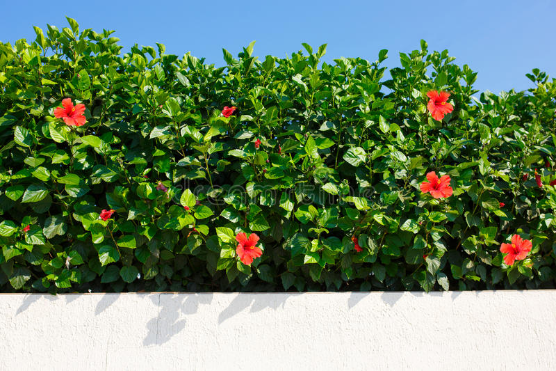 Bush gräsplanhäck med den röda hibiskusen royaltyfria bilder