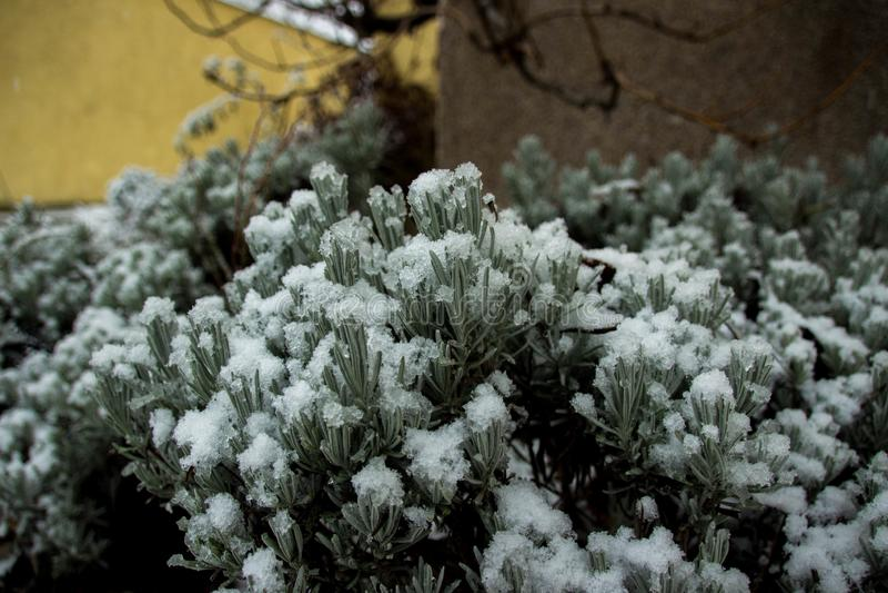 Bush-Grün unter Schneewinter stockfotos